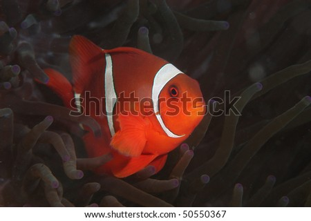 Cartoon fish from Lembeh Strait is marine areas of the North Sulawesi province, Indonesia