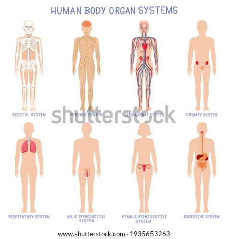 Cartoon human body organs systems. Anatomical biology systems, skeleton, nervous and reproductive system. Human biology organ scheme  illustration set Stock photo ©