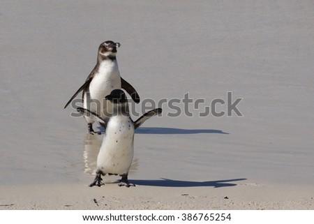 Casal de Pinguins saindo do mar em Cape Town. Foto stock ©