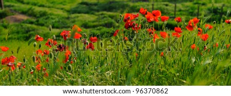 cascade of poppy flowers
