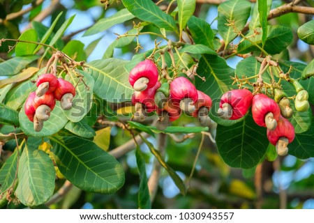 Cashew is on the tree.Cashew nuts.Cashew tree. The color of red Cashew.