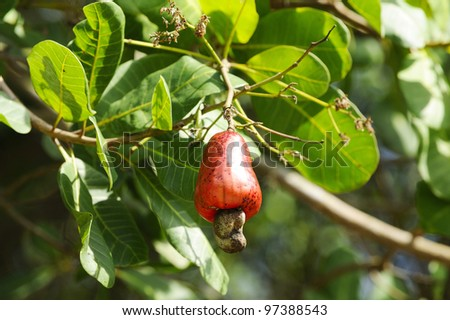 Cashew nut growing on tree