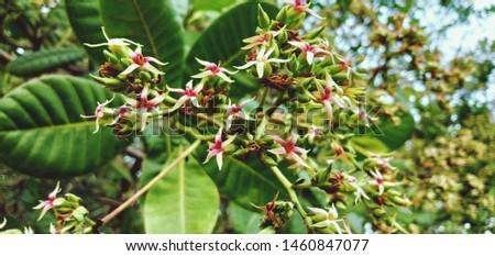 Cashew Trees When Blooming on July 25 2019 at Karangmojo #1460847077