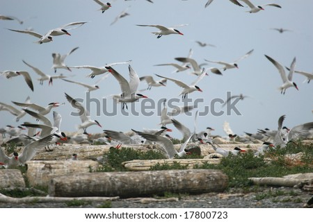 Caspian Tern colony