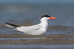 Caspian Tern in sea shore
