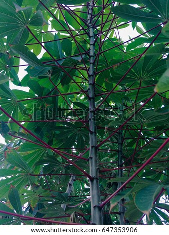 cassava #647353906