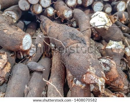 Cassava, also called manioc, yuca, balinghoy, mogo, mandioca, kamoteng kahoy, tapioca and manioc root, a woody shrub of the Euphorbiaceae family native to South America. #1408070582