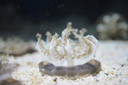 Cassiopea or Upside Down Jellyfish on the Sand Floor Beautiful Background