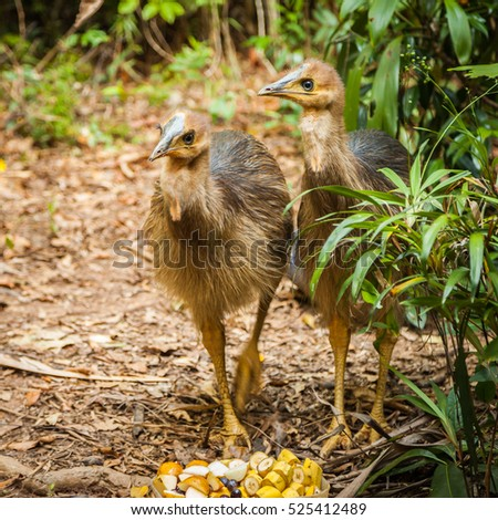 Shutterstock cassowaries are ratites in the genus Casuarius and are native to the tropical forests of New Guinea (Papua New Guinea and Indonesia), nearby islands, and northeastern Australia.