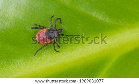 Castor bean tick on natural green background. Ixodes ricinus or scapularis. Closeup of parasitic insect. Mite crawling on yellow veined leaf texture in nature detail. Tick-borne diseases transmission. Stock photo ©