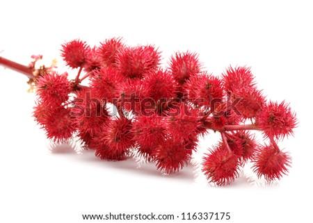 castor-oil plant flowers on white background