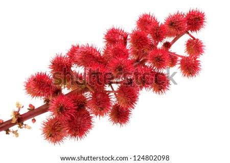 castor-oil plant flowers on white background