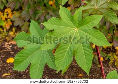 Castor oil plant Ricinus communis green leaves Stock photo ©
