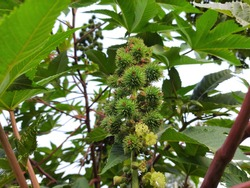 Castor oil plant. Ricinus communis, the castor bean or palma-christi is a species ofperennialflowering plantin thespurgefamily. It is the sole species in themonotypicgenus,Ricinus, andsubtribe