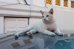 Cat,A tabby lying on the roof of a car