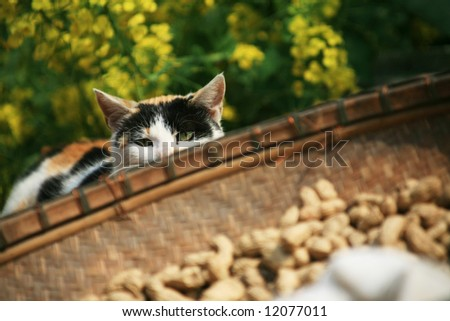 cat among blooming rapeseed