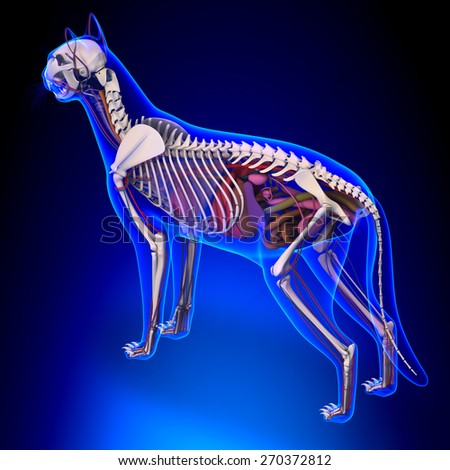 Cat Anatomy - Internal Anatomy of a Cat