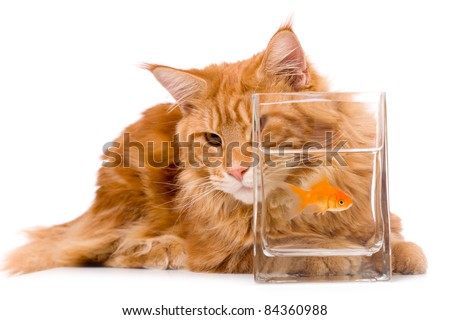 Cat and a gold fish maine coon stock photo 84360988 for Koi pond maine coon cattery