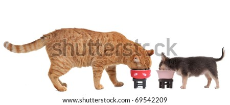 Cat and Chihuahua Puppy eating, isolated on white background