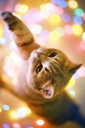 Cat and Christmas lights. Scottish Straight