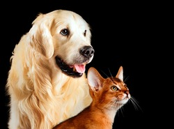 Cat and dog, abyssinian cat, golden retriever together looks at right isolated on black.