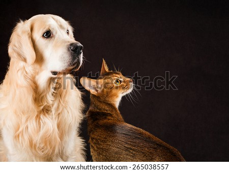 Cat and dog, abyssinian kitten and golden retriever looks at right.