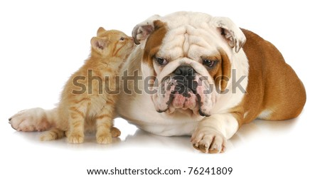 cat and dog - cute kitten whispering into english bulldogs ear on white background #76241809