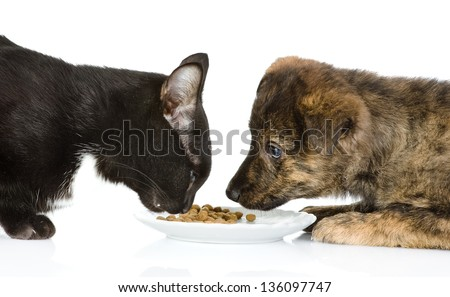 cat and dog eating together. isolated on white background