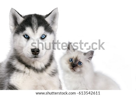 Cat and dog together isolated on white, neva masquerade, siberian husky looks straight.
