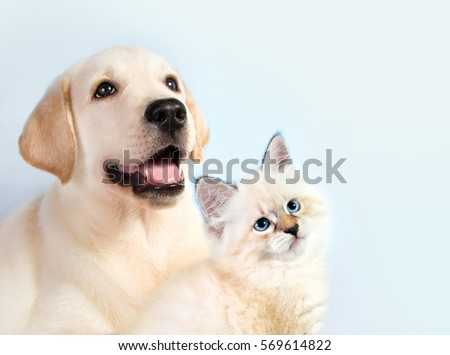 Cat and dog together, neva masquerade kitten, golden retriever looks at right
