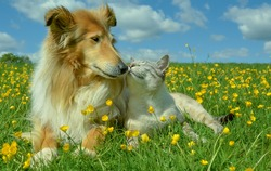 Cat and dog together nose to nose  in a summer field with buttercups and blue sky in a background