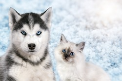 Cat and dog together on bright light snow background, neva masquerade, siberian husky looks straight. Christmas mood.