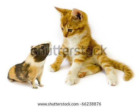 cat  and guinea  isolated on white background