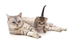 Cat and kitten isolated on a white background.