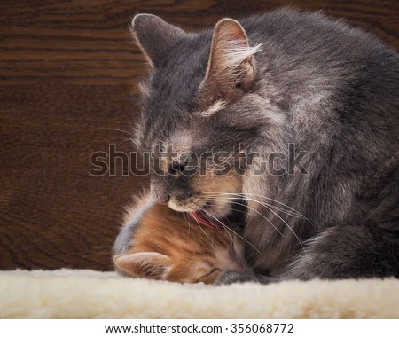 Cat and kitten. Mother and child. Mom washes kitten licks. Love, family, affection. The cat is gray, fluffy. The kitten is small, white and red. Background board.