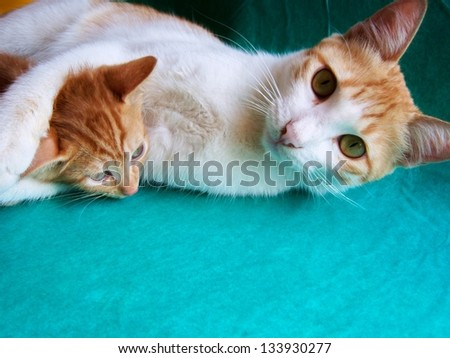 cat and kitten playing