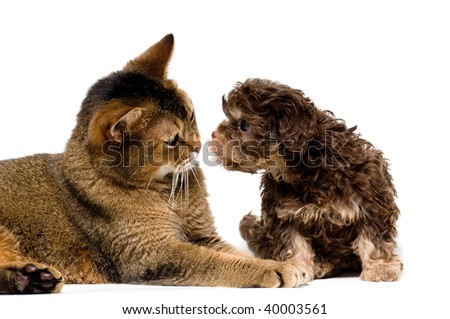 Cat and lapdog in studio on a neutral background
