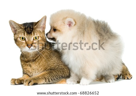 Cat and the puppy of the spitz-dog in studio