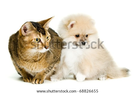 Cat and the puppy of the spitz-dog in studio - stock photo