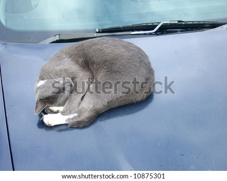 Cat asleep on car hood with rain spots