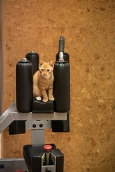 Cat athlete. Ginger cat in the gym. Dumbbells of different weights