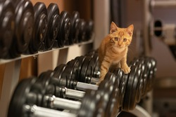 Cat athlete. Ginger cat in the gym. Dumbbells of different weights.