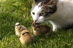 Cat & baby birds(quail) on the grass.
