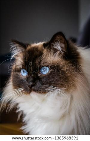 Cat - Beautiful Ragdoll Photography #1385968391
