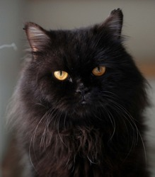 cat blackcat Persian Cats