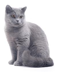 Cat (blue british) isolated on white
