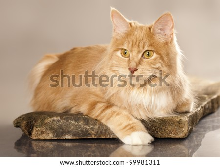 cat  (breed - kurilian bobtail) a grey background