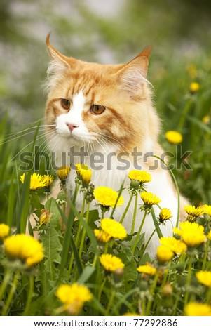 cat breed Mei Kung walks in the meadow among the dandelions