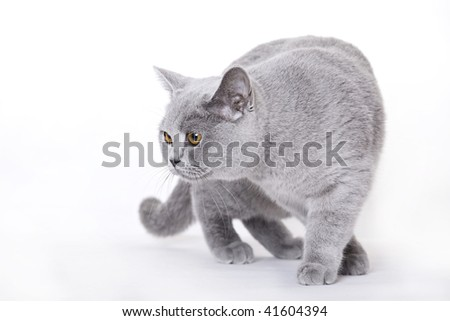 Cat, British Shorthair - stock photo