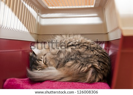 Cat carrier with striped cat under anesthetic, sleeping after surgery at veterinarian. Inside view